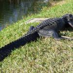 Gator right next to the parking lot