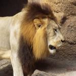 Lion Up and About