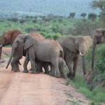elephants across the road