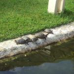 Pond Sliders sunning themselves outside the dining hall