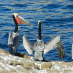 Pelicans galore at Point Lobos