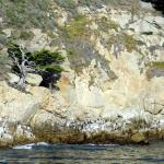 Lone Cypress along the shore of Point Lobos