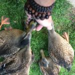 Feeding the Ducks @ Cedar Lodge and Settlement- Wisconsin Dells