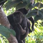 Howler monkeys outside our room