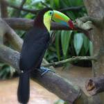 Toucan at The Springs sanctuary.