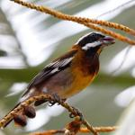 Striped Tanager