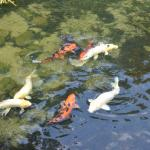 they have lots of koi. Way more than this.