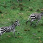 Zebras on the savanna excited by a light rain