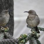 Thrashers at the feeder