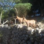 Goats on Capri