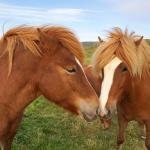 Friendly horses