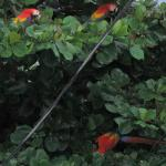 Macaws on the tree near the Cabinas