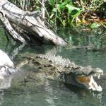 American Crocs in Black River