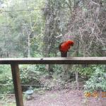 King parrot one of three