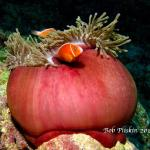 Tomato Clownfis in an anemone ball