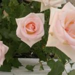 Christa Steyn roses in full bloom