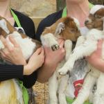 Armloads of baby goats!