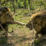 Two male lions fighting.