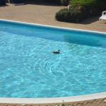 Pool with Friendly Duck