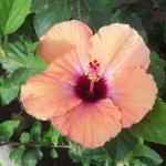 Beautiful hibiscus by the pool