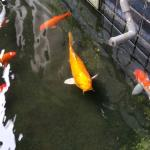The many Koi around the grounds.
