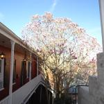 Magnolia tree in the courtyard