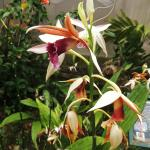 Aprovaca (The Orchid Nursery & Conservation Center) Foto