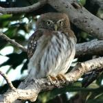 Ferruginous pygmy owl in the garden
