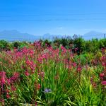 Our magnificent fynbos garden overlooking the Outeniqua mountains