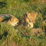 lion cubs - all photos taken by us from the landrover!