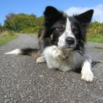 Moss intent focussing like only a Border Collie can...