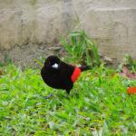 A lovely Scarlet-rumped tanager