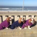 our lovely cavaliers at the beach