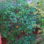 Grapefruit tree in pool area