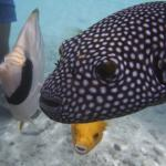 beautiful pufferfish