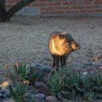 Javelina seen on the grounds