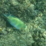 Surgeon fish  - seen while snorkelling from the beach