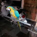 Poor Parrot we found chained up in the back corner of the parking/storage area