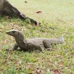 A monitor lizard comes to forage
