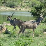 Kudu at nearby water hole.
