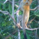 Squirrel Monkeys seen from the balcony