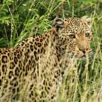Leopard nice and close