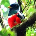 Collared trogon in the grounds