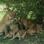 Our first sighting of lions!