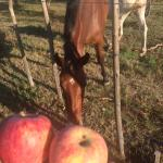 Apples for guests and four legged residents!