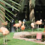 Real flamingoes in The Habitat