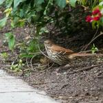 Brown Thrasher - apparently this was the first one seen in the county for several years