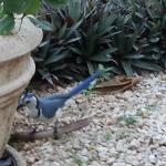 Our daily visit by the Mocking Jays