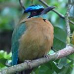 Blue-crowned Motmot in the Garden