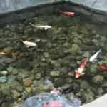 Koi fish pond in atrium